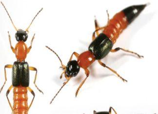 Cách diệt kiến ba khoang như thế nào cho hiệu quả và an toàn