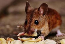 Thuốc diệt chuột loại nào tốt nhất hiện nay?