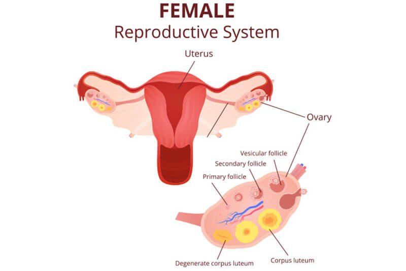 Mối liên hệ giữa giai đoạn hoàng thể và khả năng mang thai